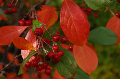 Brilliant Red Chokeberry fall color and berries