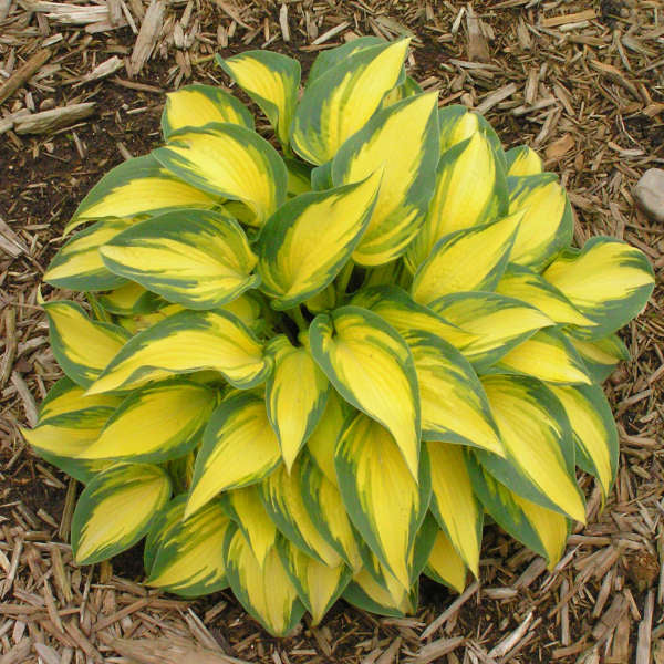 Remember Me Hosta in spring Photo courtesy of Walters Gardens