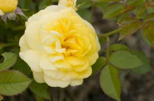 Rose Easy Elegance Yellow Brick Road photo courtesy of Bailey Nurseries