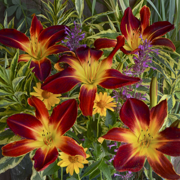 ruby spider daylily flower photo courtesy of Waiters Gardens Inc