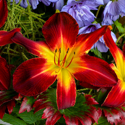 ruby spider daylily flowers photo courtesy of Walters Gardens Inc
