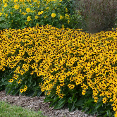 Rudbeckia 'Little Goldstar' photo courtesy of Walters Gardens