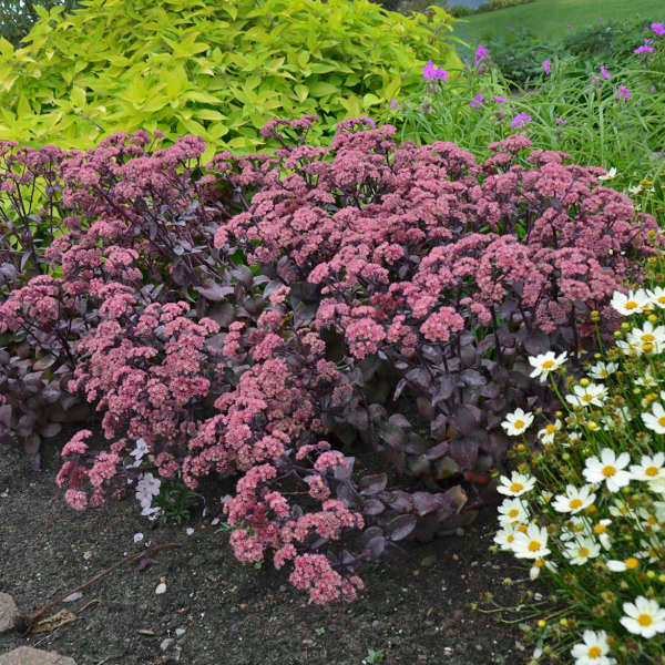 Sedum 'Xenox' Photo courtesy of Walters Gardens