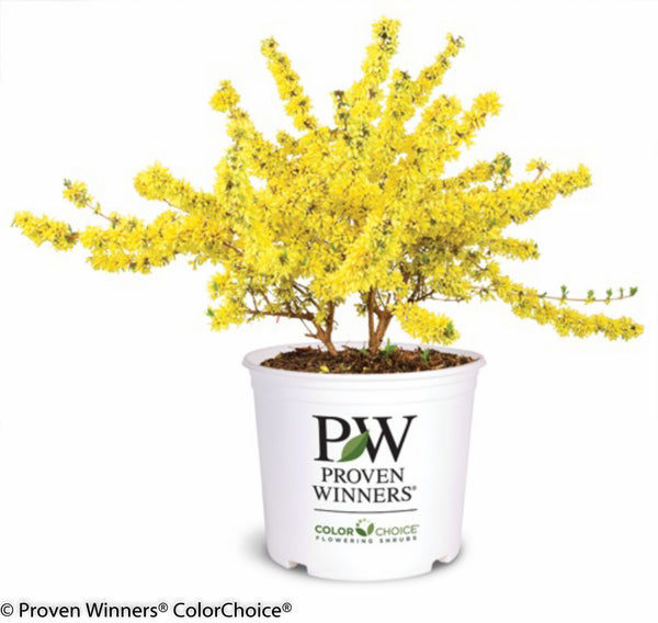 Forsythia 'Show Off' Photo courtesy of Proven Winners - www.provenwinners.com