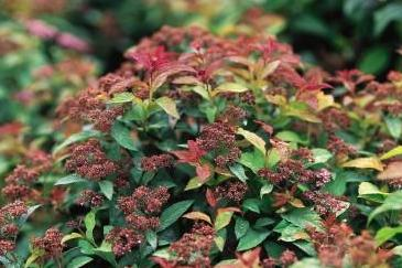 Spirea Goldflame photo courtesy of Bailey Nurseries