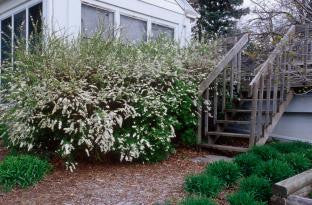 Spirea Grefsheim photo courtesy of Bailey Nurseries