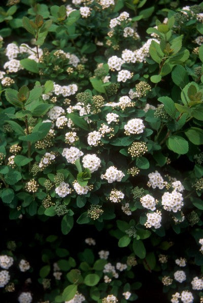 Spirea Birchleaf Photo courtesy of Bailey Nurseries