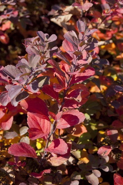 Spirea Birchleaf fall red color Photo courtesy of Bailey Nurseries