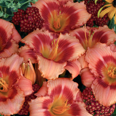 Daylily strawberry candy flowers photo courtesy of Walters Gardens Inc