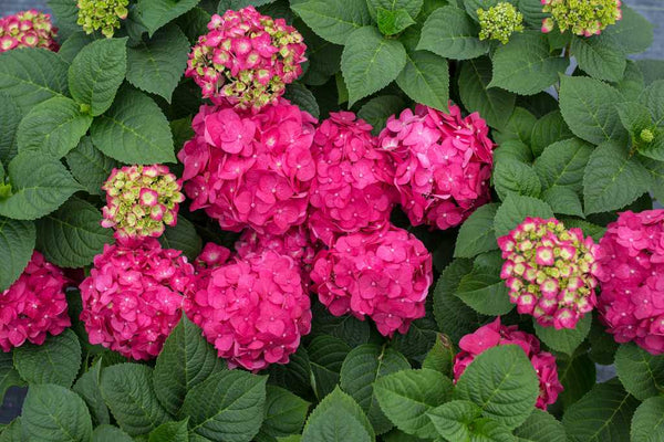 Hydrangea Summer Crush, 2 gallon