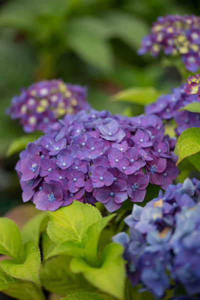 Hydrangea Summer crush photo courtesy of Bailey Nurseries Inc.
