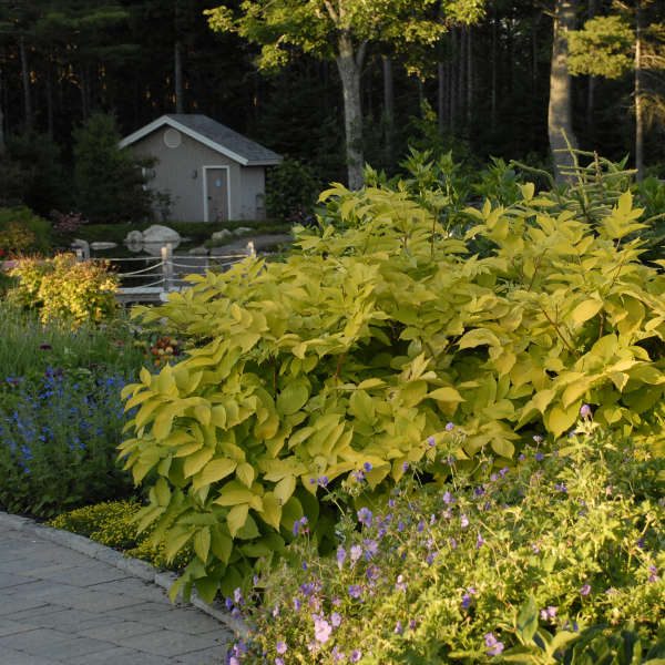 Aralia Sun King Photo courtesy of Walters Gardens, Inc.