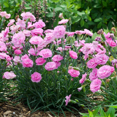 Dianthus Sweetie Pie Photo courtesy of Walters Gardens