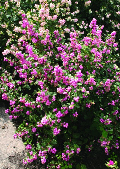 Coralberry Candy Sensation photo courtesy from Proven winners