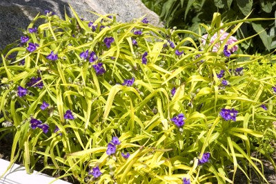 Tradescantia Sweet Kate photo courtesy of Bailey Nurseries