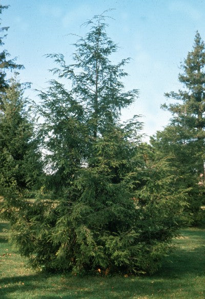 Canadian Hemlock Photo courtesy of Bailey Nurseries