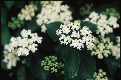 Viburnum Autumn Jazz