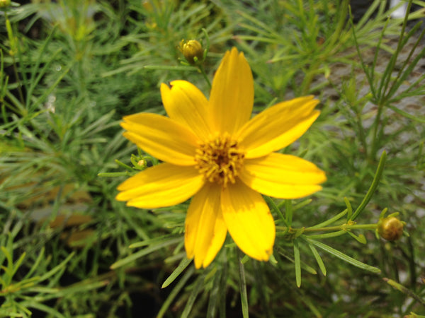 Yellow flowers tagged attracts butterflies stuarts zagreb coreopsis mightylinksfo