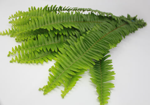 Sword Fern - 15 pack