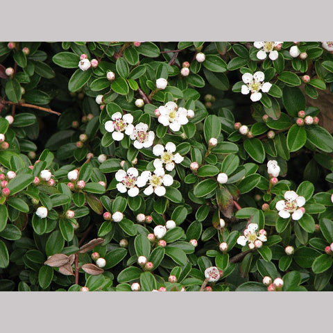 Shrubs ~ Cotoneaster dammeri, Bearberry Cotoneaster ~ Dancing Oaks Nursery and Gardens ~ Retail Nursery ~ Mail Order Nursery