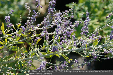 Perennials ~ Perovskia atriplicifolia 'Little Spire' ~ Dancing Oaks Nursery and Gardens ~ Retail Nursery ~ Mail Order Nursery