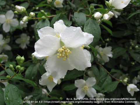 Shrubs ~ Philadelphus lewisii, Western Mock Orange ~ Dancing Oaks Nursery