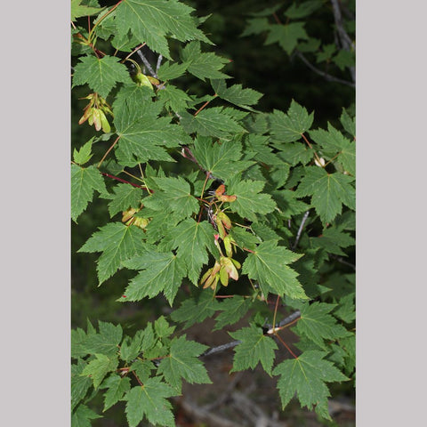 Trees ~ Acer glabrum, Rocky Mountain Maple ~ Dancing Oaks Nursery and Gardens ~ Retail Nursery ~ Mail Order Nursery