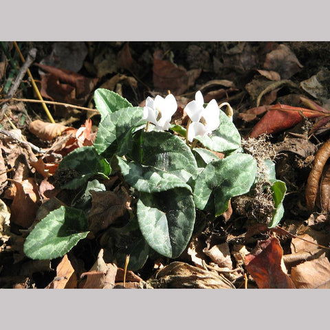 Bulbs & Tubers ~ Cyclamen hederifolium 'Amaze Me White' ~ Dancing Oaks Nursery and Gardens ~ Retail Nursery ~ Mail Order Nursery