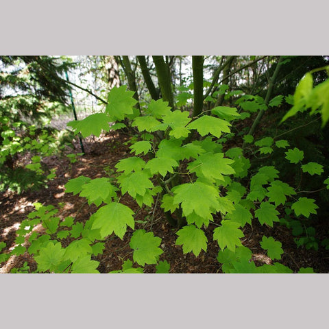 Trees ~ Acer circinatum, West Coast Native Vine Maple ~ Dancing Oaks Nursery and Gardens ~ Retail Nursery ~ Mail Order Nursery