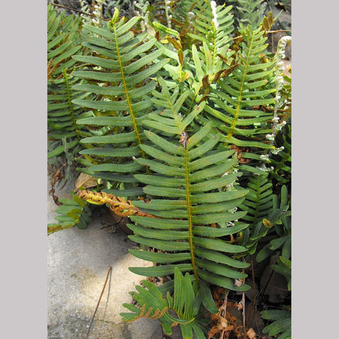 Ferns ~ Polypodium guttatum, Mexican Polypody ~ Dancing Oaks Nursery and Gardens ~ Retail Nursery ~ Mail Order Nursery