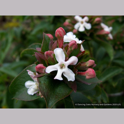 Shrubs ~ Abelia mosanensis, Fragrant Abelia ~ Dancing Oaks Nursery and Gardens ~ Retail Nursery ~ Mail Order Nursery