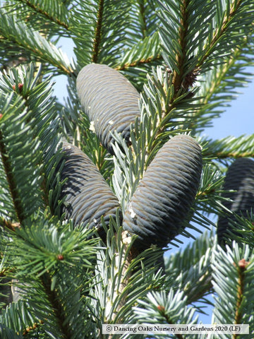 Trees ~ Abies spectabilis, East Himalayan Fir ~ Dancing Oaks Nursery and Gardens ~ Retail Nursery ~ Mail Order Nursery