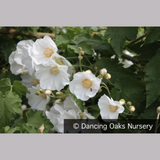 Shrubs ~ Abutilon vitifolium 'Tennant's White', Flowering Maple ~ Dancing Oaks Nursery and Gardens ~ Retail Nursery ~ Mail Order Nursery