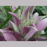 Perennials ~ Acanthus syriacus, Syrian Acanthus ~ Dancing Oaks Nursery and Gardens ~ Retail Nursery ~ Mail Order Nursery