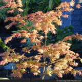 Trees ~ Acer shirasawanum 'Autumn Moon', Autumn Moon Full Moon Maple ~ Dancing Oaks Nursery and Gardens ~ Retail Nursery ~ Mail Order Nursery