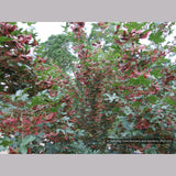 Trees ~ Acer campestre 'Royal Ruby', Hedge Maple ~ Dancing Oaks Nursery and Gardens ~ Retail Nursery ~ Mail Order Nursery