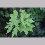 Trees ~ Acer circinatum 'Monroe', Cutleaf Vine Maple ~ Dancing Oaks Nursery and Gardens ~ Retail Nursery ~ Mail Order Nursery