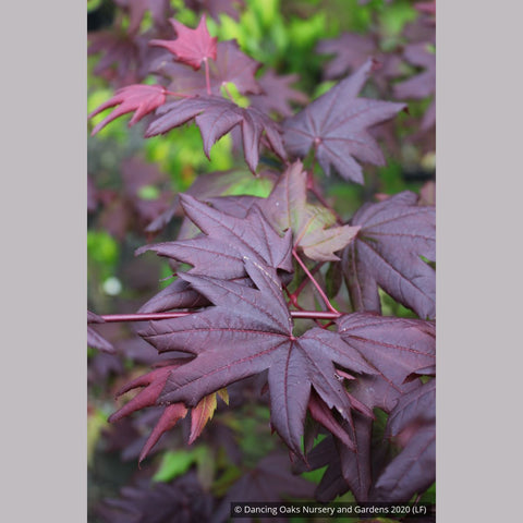 Trees ~ Acer circinatum 'Burgundy Jewel', Burgundy Jewel Vine Maple ~ Dancing Oaks Nursery and Gardens ~ Retail Nursery ~ Mail Order Nursery