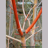 Trees ~ Acer circinatum 'Pacific Fire', Red Twig Vine Maple ~ Dancing Oaks Nursery and Gardens