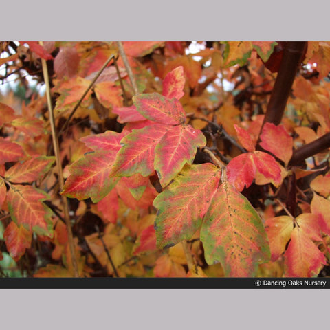 Trees ~ Acer griseum, Paperbark Maple ~ Dancing Oaks Nursery and Gardens ~ Retail Nursery ~ Mail Order Nursery