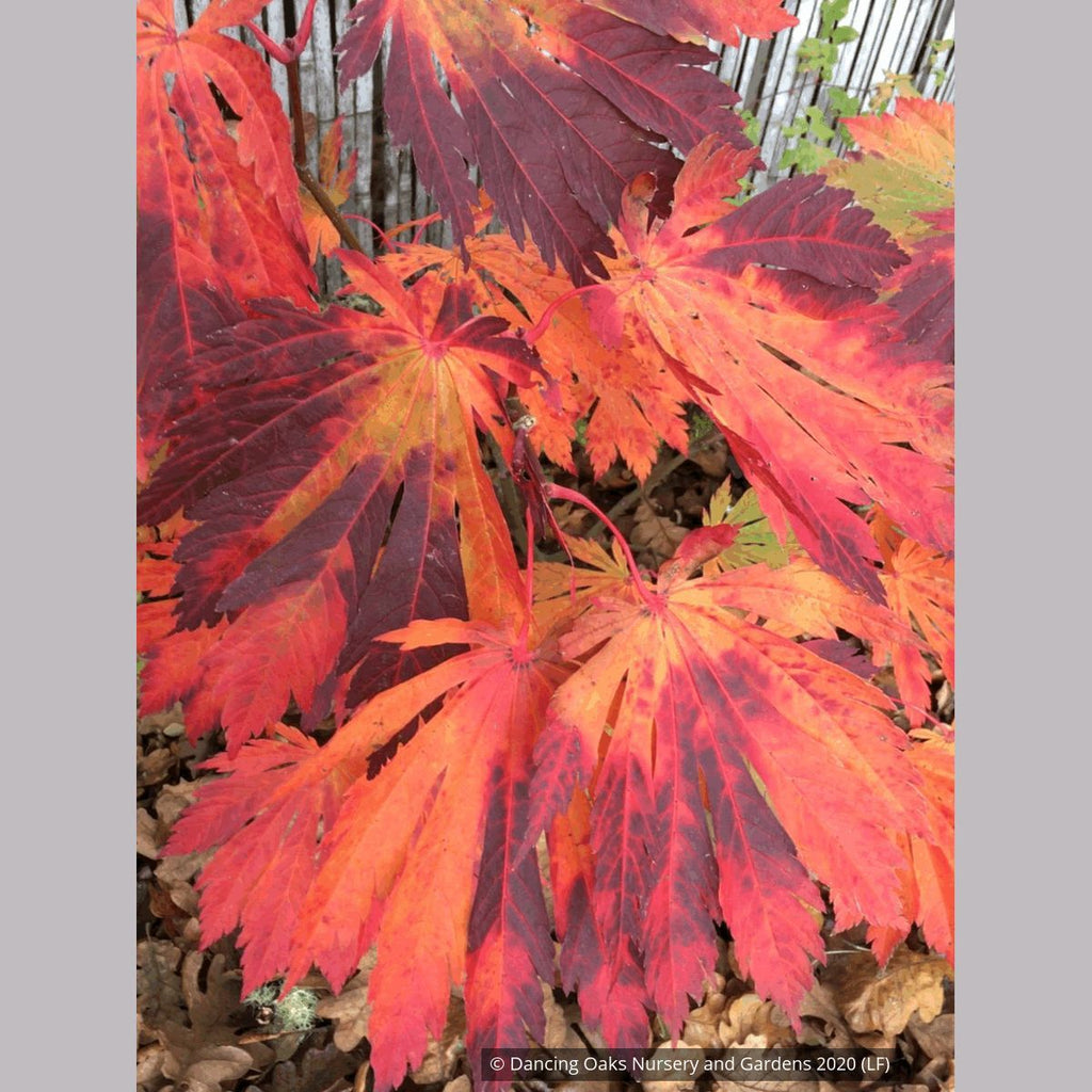 Acer Japonicum Yama Kagi Japanese Maple Dancing Oaks Nursery