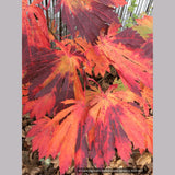 Trees ~ Acer japonicum 'Yama Kagi', Japanese Maple ~ Dancing Oaks Nursery and Gardens ~ Retail Nursery ~ Mail Order Nursery