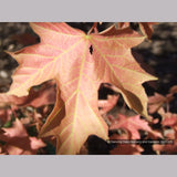 Trees ~ Acer macrophyllum 'Mocha Rose', Mocha Rose Bigleaf Maple ~ Dancing Oaks Nursery and Gardens ~ Retail Nursery ~ Mail Order Nursery