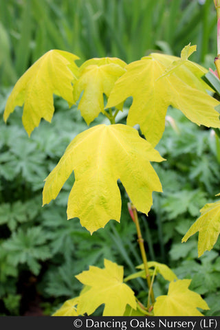 Trees ~ Acer macrophyllum 'Elynor's Heart of Gold', Golden Big-Leaf Maple ~ Dancing Oaks Nursery