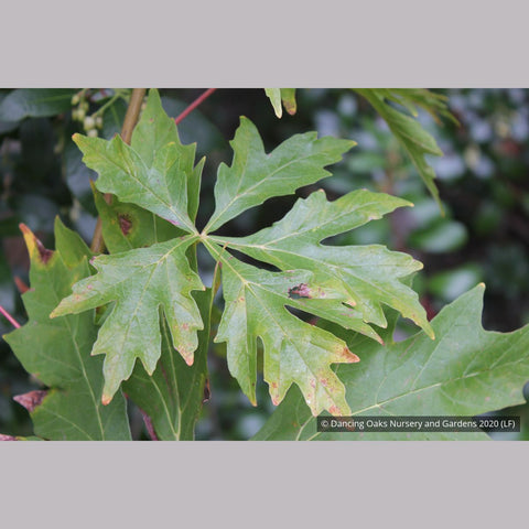 Trees ~ Acer macrophyllum 'Kimballiae', Cutleaf Bigleaf Maple ~ Dancing Oaks Nursery and Gardens ~ Retail Nursery ~ Mail Order Nursery