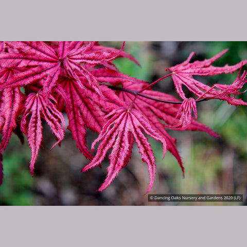 Trees ~ Acer 'Amagi shigure', Dwarf Japanese Maple ~ Dancing Oaks Nursery and Gardens ~ Retail Nursery ~ Mail Order Nursery