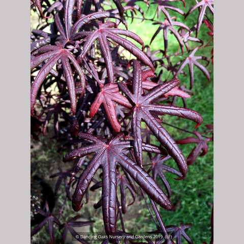 Trees ~ Acer palmatum 'Peve Starfish', Japanese Maple ~ Dancing Oaks Nursery and Gardens ~ Retail Nursery ~ Mail Order Nursery
