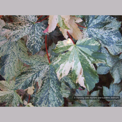 Trees ~ Acer pseudoplatanus 'Esk Sunset', Sycamore Maple ~ Dancing Oaks Nursery and Gardens ~ Retail Nursery ~ Mail Order Nursery
