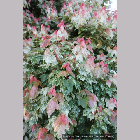 Trees ~ Acer rubrum 'Vanity', Variegated Red Maple ~ Dancing Oaks Nursery and Gardens ~ Retail Nursery ~ Mail Order Nursery