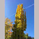 Trees ~ Acer saccharum 'Millane's Columnar', Millane's Column Sugar Maple ~ Dancing Oaks Nursery and Gardens ~ Retail Nursery ~ Mail Order Nursery